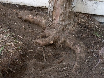 Cracks in walls from tree roots